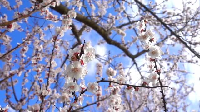Apricot Tree: Stock Video