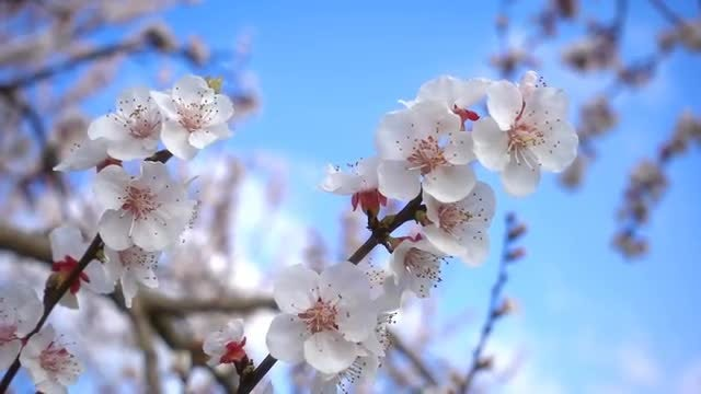 Blossoming Apricot Branches: Stock Video