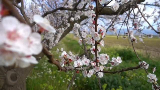 Apricot Tree With Flowers: Stock Video