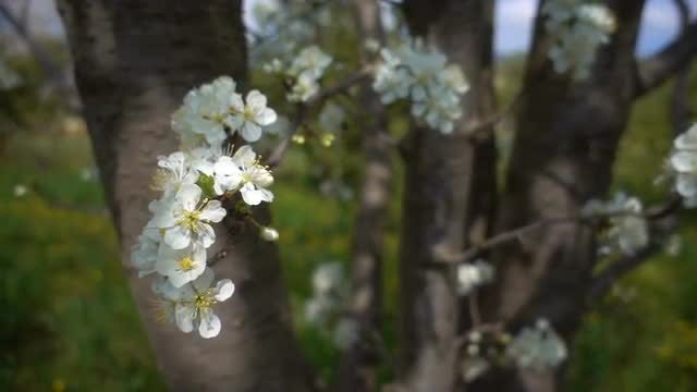 Plum Tree With Flowers: Stock Video