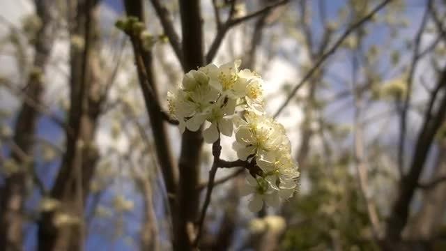 Plum Flowers: Stock Video