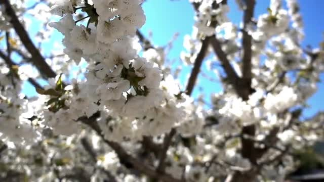 White Flowers: Stock Video