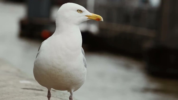 Close-Up Shot Of A Seagull: Stock Video