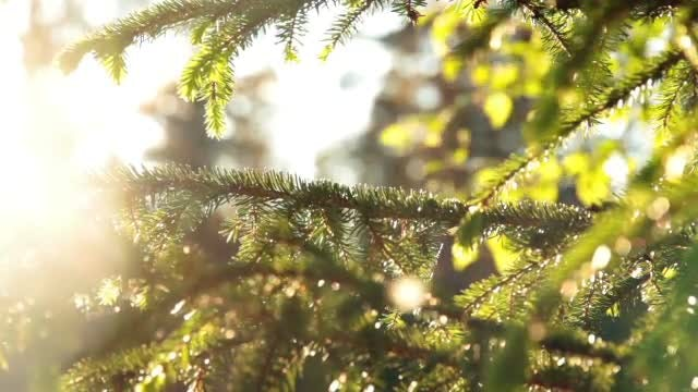 Spruce Tree: Stock Video