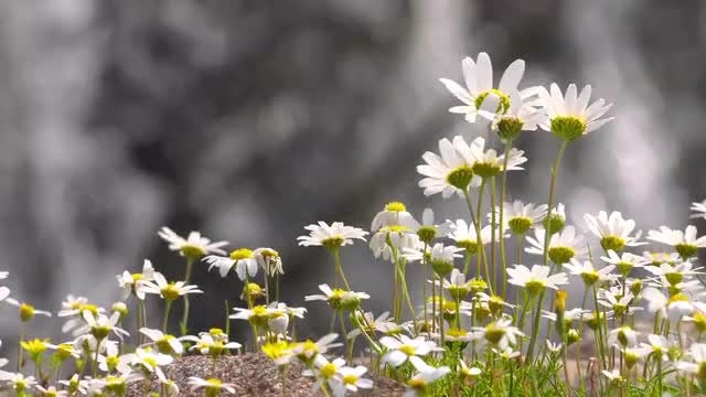 White Daisy Flowers By Waterfall: Stock Video