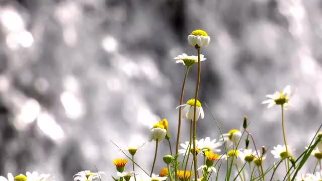 Dying Wild Daisies: Stock Video