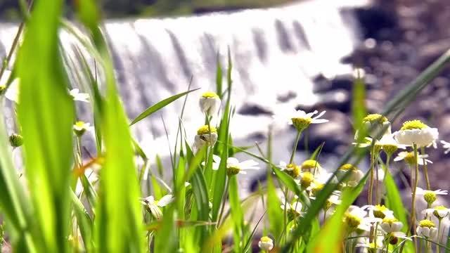 White Daisy Flower: Stock Video