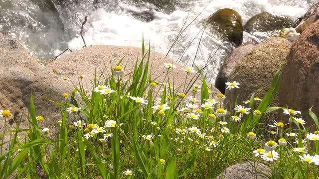 Waterfall With White Daisy: Stock Video