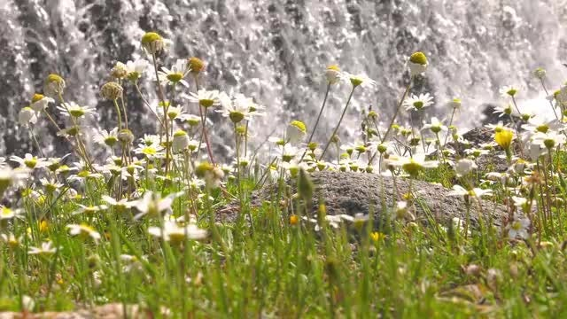 Daisies And Waterfall: Stock Video