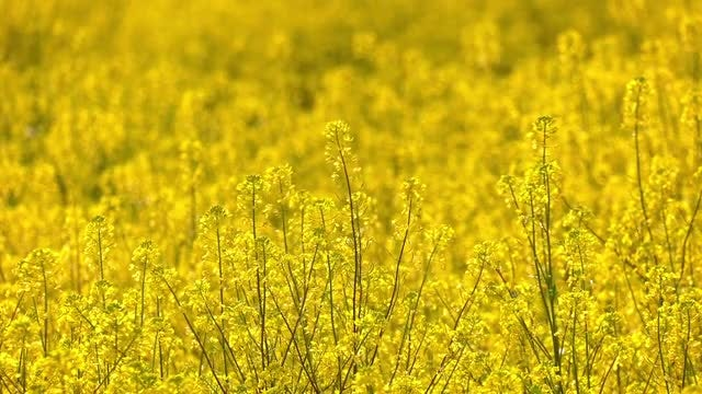 Field Of Swaying Yellow Flowers: Stock Video