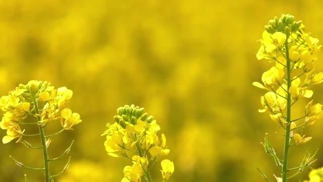 Yellow Flowers Swaying: Stock Video