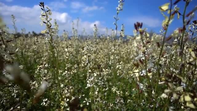 White Flowers: Stock Video