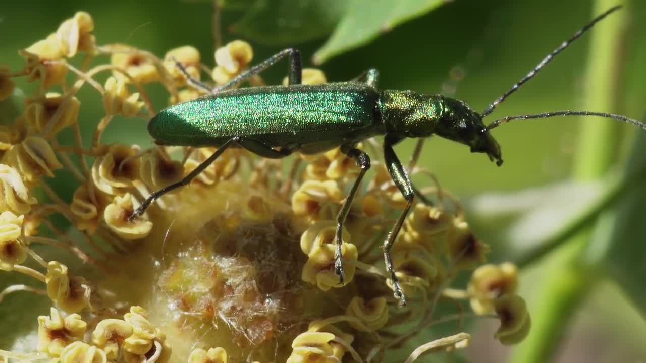 Blister Beetle - Stock Video | Motion Array