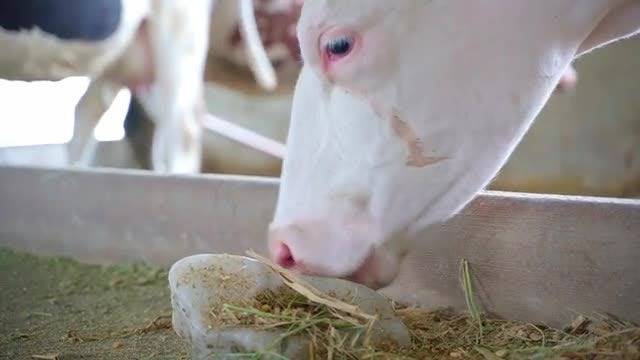 Cow Licks Salt: Stock Video