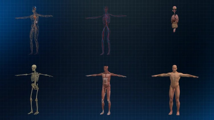 Human Male Anatomy: Motion Graphics