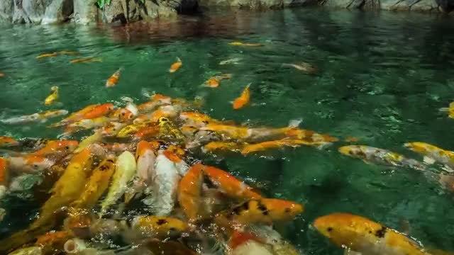 Golden Carps: Stock Video