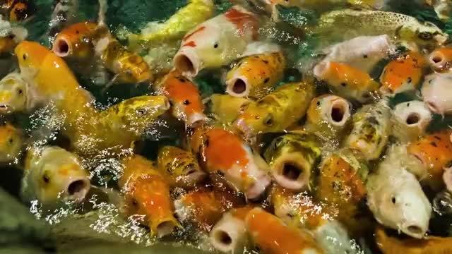 Feeding Fish: Stock Video