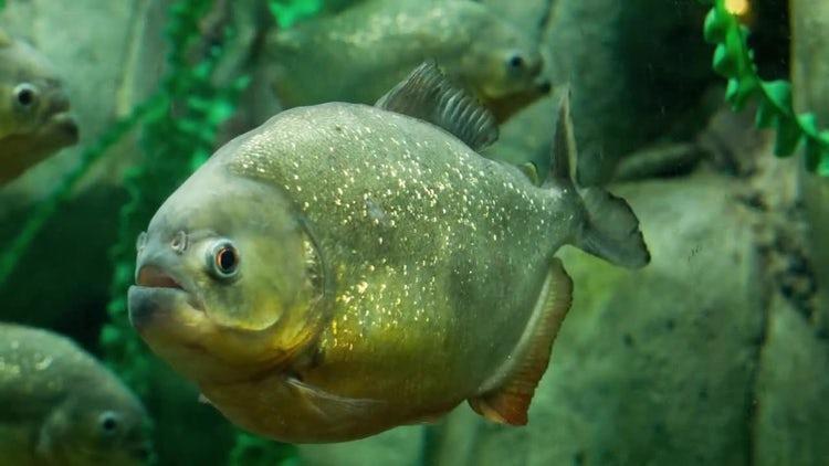 Piranha: Stock Video