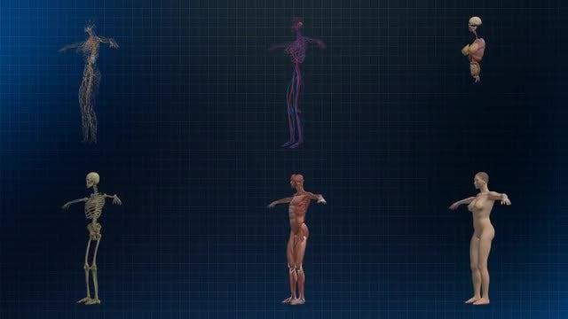 Human Female Anatomy: Stock Motion Graphics