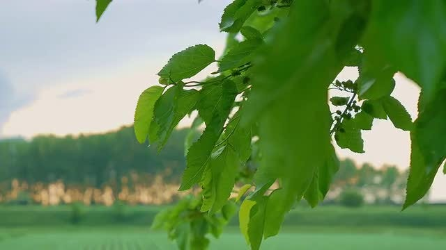 Green Leaves: Stock Video
