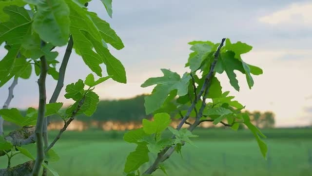Green Maple Leaves: Stock Video