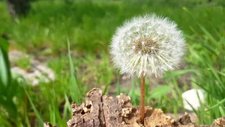 Dandelion In Grass: Stock Video