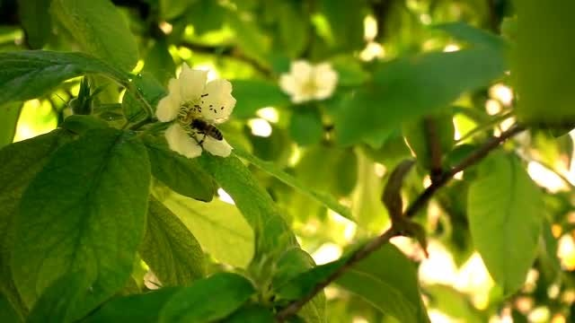 Bee On Plum Flower: Stock Video