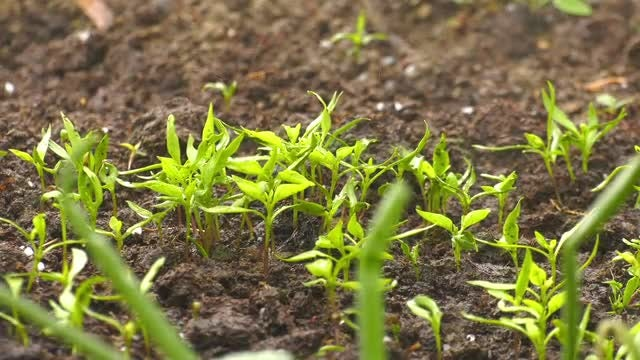 Rain Waters Corn Sprouts: Stock Video
