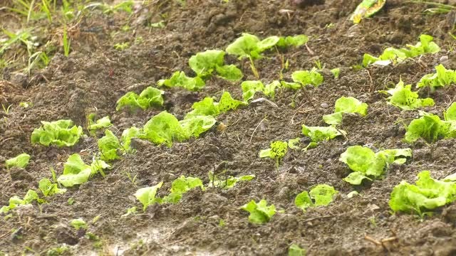 Rain On Lettuce Crop: Stock Video
