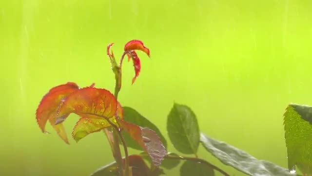 Rain Drops On Red Plant: Stock Video