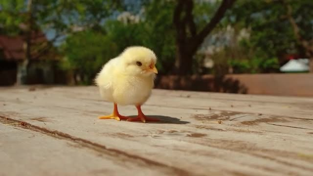 Chick On A Table: Stock Video