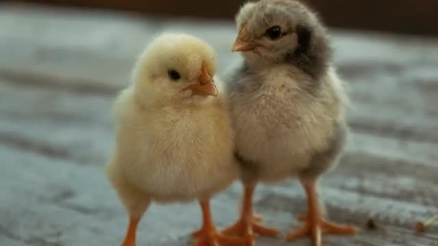 Chicks Resting: Stock Video