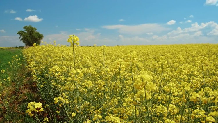 Yellow Rapeseed Flowers: Stock Video