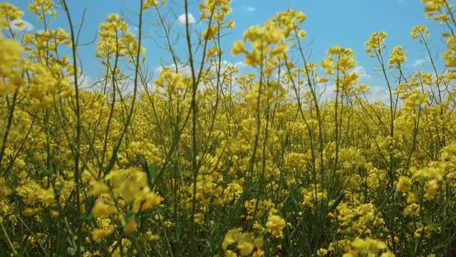 Rapeseed: Stock Video