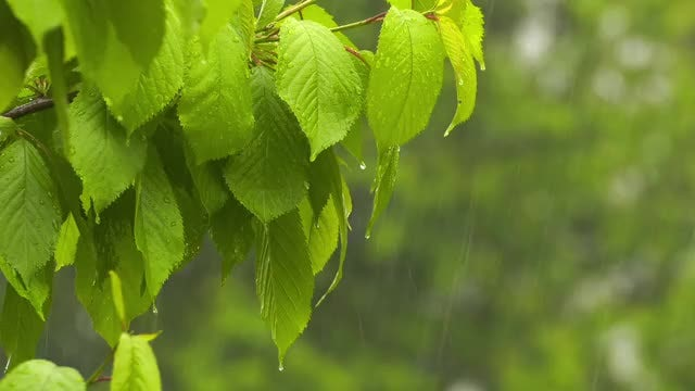 Rainwater Dripping Down Leaves: Stock Video