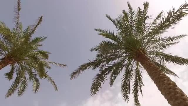 Palm Trees Look Up Shot: Stock Video