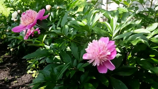 Pink Peonies: Stock Video