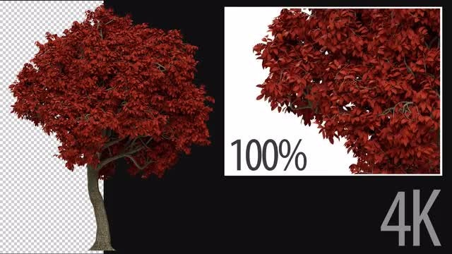3D Maple Tree: Stock Motion Graphics