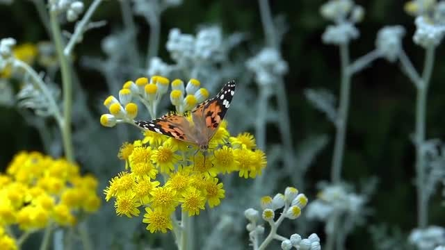 Painted Lady: Stock Video
