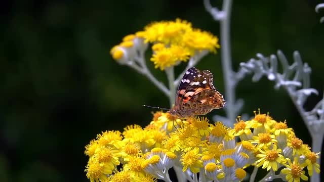 Collecting Nectar: Stock Video