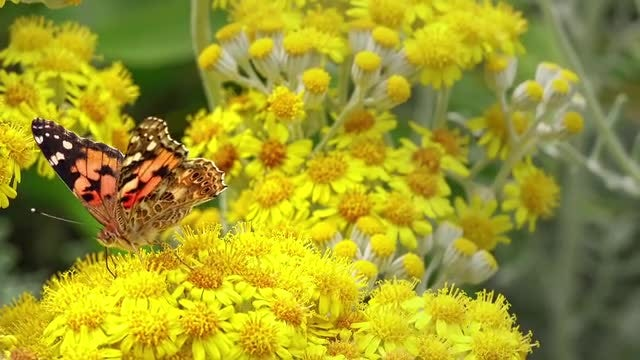 Painted Lady Butterfly: Stock Video