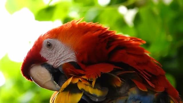 Parrot Preening: Stock Video