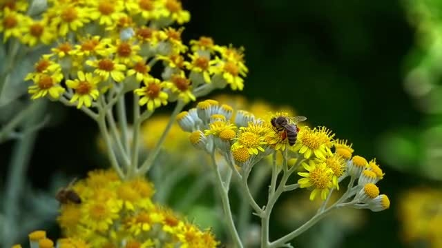 Bees On Flowers: Stock Video