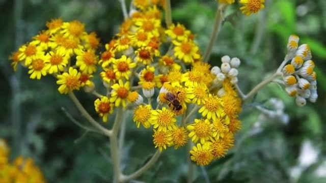 Bee On Wildflowers: Stock Video
