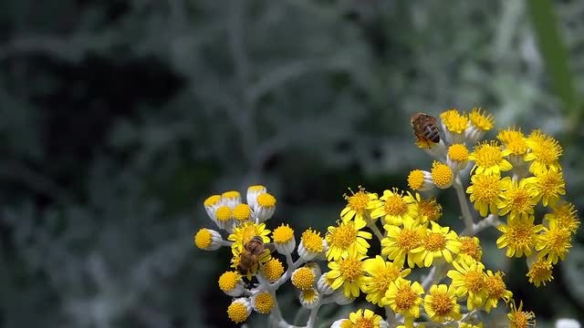 Bees Collects Pollen: Stock Video