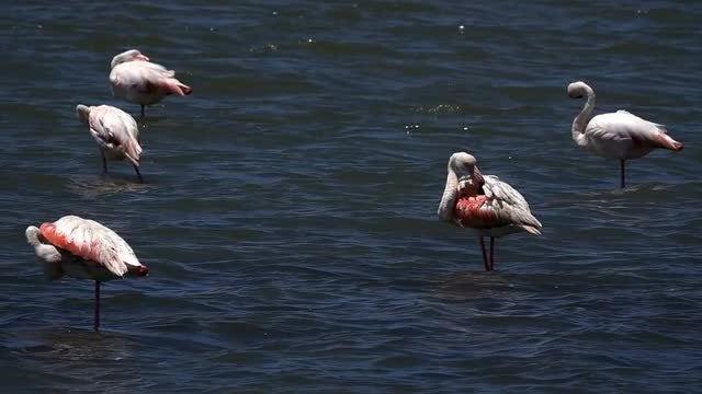 Flamingos In The Lake: Stock Video