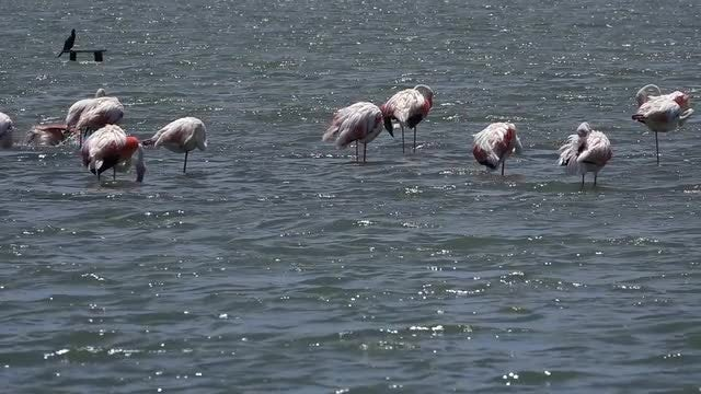 Flamingo Birds: Stock Video