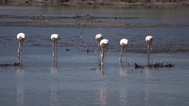 Flamingo Birds Feeding: Stock Video