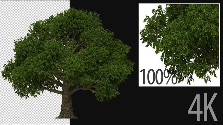 3D Beech Tree: Stock Motion Graphics