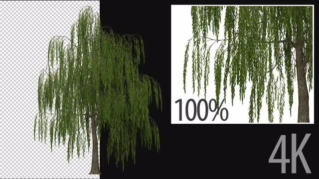 3D Willow Tree: Stock Motion Graphics